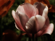 Richard Cummings - Easter Tulip No. 2