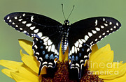 Papilionidae Prints - Eastern Black Swallowtail Butterfly Print by Millard H. Sharp