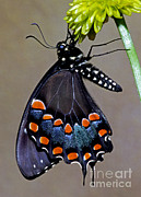 Papilionidae Prints - Eastern Black Swallowtail Print by Millard H. Sharp