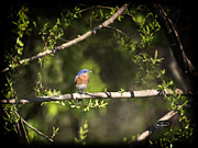 Cris Hayes Art - Eastern Blue Bird at Sunrise by Cris Hayes