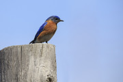 Gary Hall - Eastern Bluebird 4