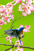 Randall Branham Art - Eastern Bluebird and Red Dogwood by Randall Branham