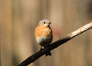 Bluebird Metal Prints - Eastern Bluebird Female 1 Metal Print by Douglas Barnett