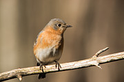 Bluebird Metal Prints - Eastern Bluebird Female 5 Metal Print by Douglas Barnett