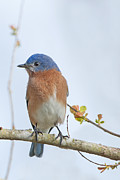 Sialia Sialis Metal Prints - Eastern Bluebird in Early Spring Metal Print by Bonnie Barry