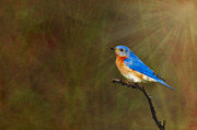 Light Rays Prints - Eastern Bluebird In The Prairies Print by Susan Candelario