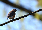 Tree Lines Framed Prints - Eastern Bluebird in Walnut Early Spring Framed Print by Rebecca Sherman