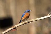 Bluebird Metal Prints - Eastern Bluebird Male 3 Metal Print by Douglas Barnett