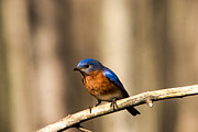 Bluebird Metal Prints - Eastern Bluebird Male 4 Metal Print by Douglas Barnett