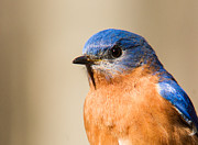 Bluebird Metal Prints - Eastern Bluebird Male 7 Metal Print by Douglas Barnett