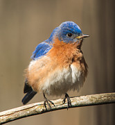 Bluebird Metal Prints - Eastern Bluebird Male Ruffled Metal Print by Douglas Barnett