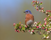 Bluebird Pyrography Metal Prints - Eastern Bluebird on Apple Blossoms Metal Print by Daniel Behm
