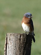 Birdhouse Photos Photos - Eastern Bluebird by Rebecca Overton