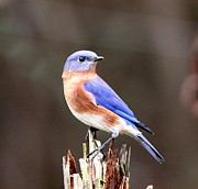 Travis Truelove Photography Prints - Eastern Bluebird - The Old Fence Post Print by Travis Truelove