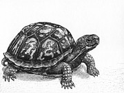 Reptiles Drawings Prints - Eastern Box Turtle Print by Cara Bevan