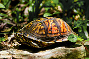 Paul Mashburn Art - Eastern Box Turtle by Paul Mashburn