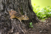 Clinging Posters - Eastern Chipmunk Clinging To Tree Trunk Poster by Christina Rollo