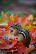 Eastern Chipmunk Photos - Eastern Chipmunk by Coral Wood