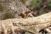 Eastern Chipmunk Photos - Eastern Chipmunk by Jack Dean III