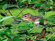 Eastern Chipmunk Photos - Eastern Chipmunk by Tom Royce