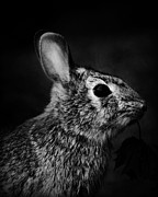 Country Cottage Prints - Eastern Cottontail Rabbit Portrait Print by Rebecca Sherman