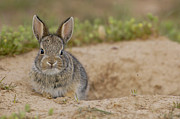 Eye Contact Posters - Eastern Cottontail Wyoming Poster by Pete Oxford