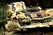 Timber Rattler Photos - Eastern Diamondback Rattlesnake by Deena Stoddard