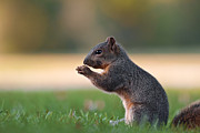 Eastern Fox Squirrel Metal Prints - Eastern Fox Squirell Metal Print by Brandon Alms