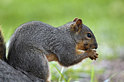 Eastern Fox Squirrel Metal Prints - Eastern Fox Squirrel Metal Print by Brandon Alms