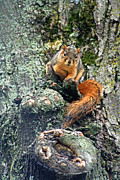 Dennis Pintoski - Eastern Fox Squirrel