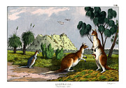 Kangaroo Drawings - Eastern Grey Kangaroo by Splendid Art Prints