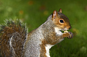 Creature Eating Posters - Eastern Grey Squirrel Poster by Craig Brown