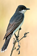 Flycatcher Digital Art - Eastern Kingbird Digital Watercolour 2732 by Paul Reeves