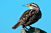 Meadowlark Digital Art Posters - Eastern Meadowlark Digital Watercolour 7918 Poster by Paul Reeves