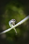 Flycatcher Metal Prints - Eastern Phoebe Metal Print by Christina Rollo