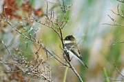Connie Koehler - Eastern Phoebe