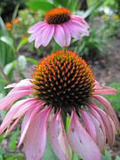 Eastern Purple Coneflower Print by Vicki Kennedy