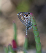 April Wietrecki - Eastern Pygmy Blue...