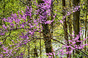 Thomas R Fletcher - Eastern Redbud along...