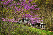 Thomas R Fletcher - Eastern Redbud and...