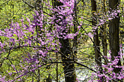 Thomas R Fletcher - Eastern Redbud Birch...