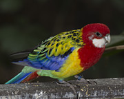 Gerald Murray Photography - Eastern Rosella