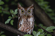 Eastern Metal Prints - Eastern Screech-Owl Metal Print by Aaron J Groen