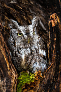 Craig Brown Art - Eastern Screech Owl by Craig Brown