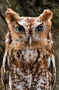 Owl Metal Prints - Eastern Screech Owl Metal Print by Dale Kincaid