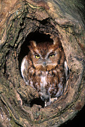 Strigidae Framed Prints - Eastern Screech Owl - FS000810 Framed Print by Daniel Dempster