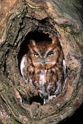 Eastern Screech Owl - Fs000810 Print by Daniel Dempster
