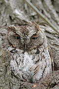 Morph Framed Prints - Eastern Screech Owl - Gray Morph Framed Print by Jim Nelson