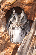 Strigidae Framed Prints - Eastern Screech-Owl I Framed Print by Clarence Holmes
