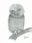 Owls Drawings - Eastern Screech Owl by Sharon Blanchard